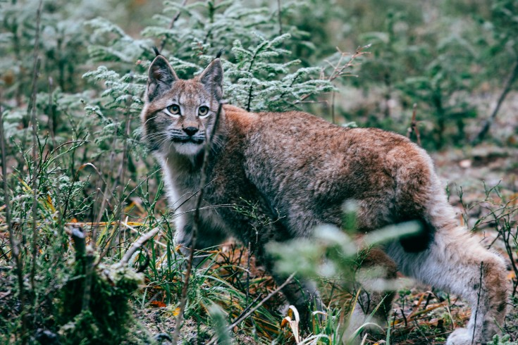 latvian lynx in nature aleksandrs kendenkovs
