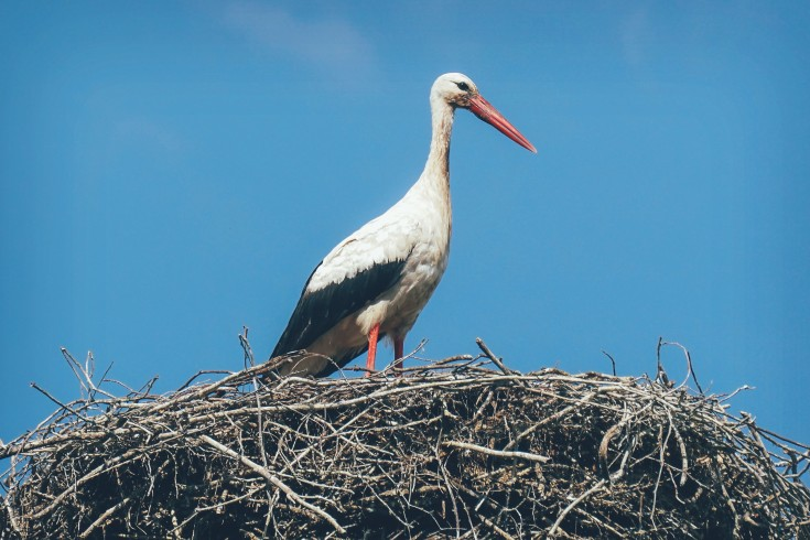 stork in latvia